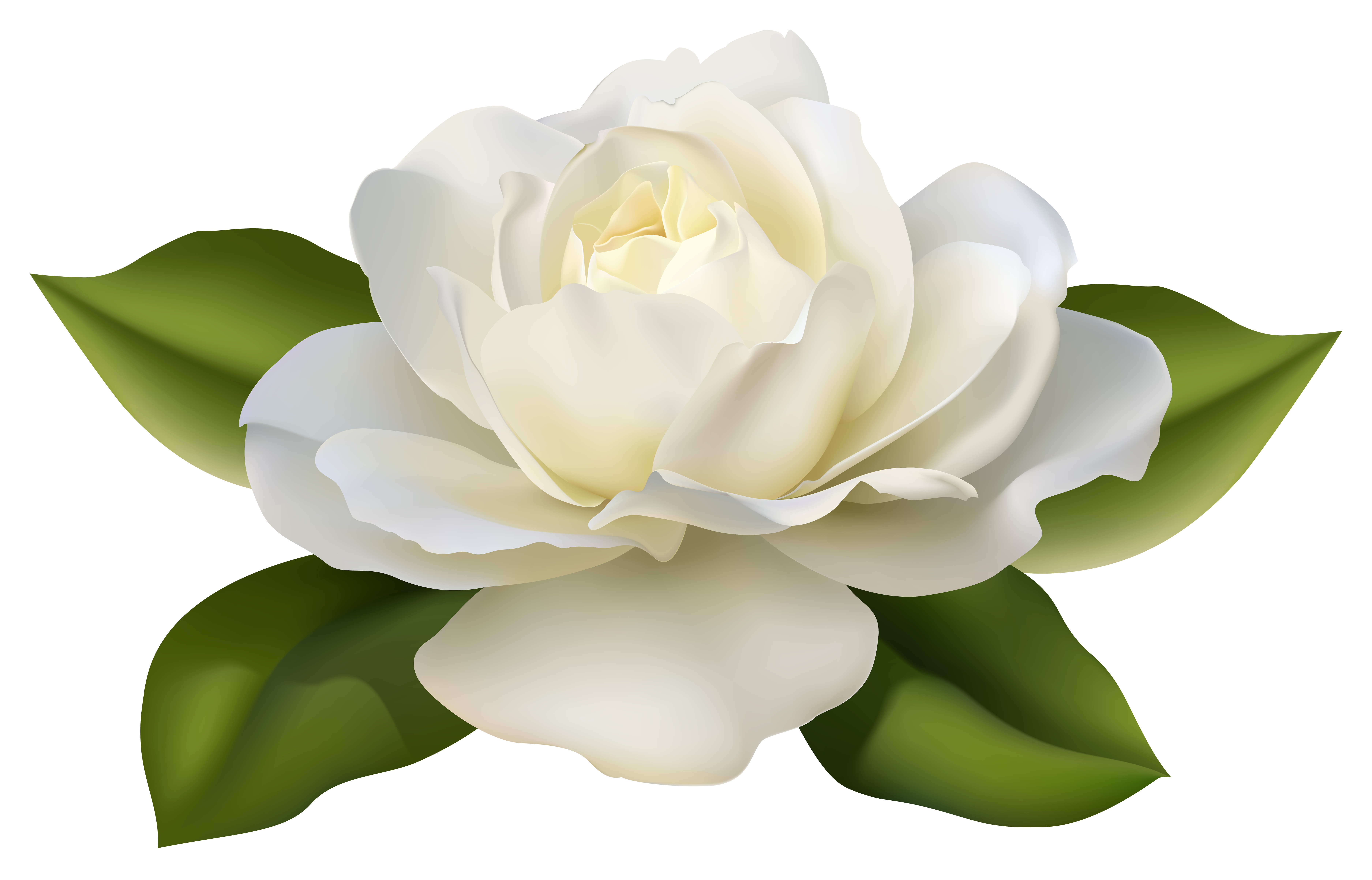 Rose leaves png. Beautiful white with image