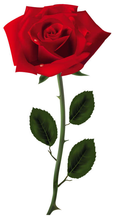 Rose transparent png. Download free image and