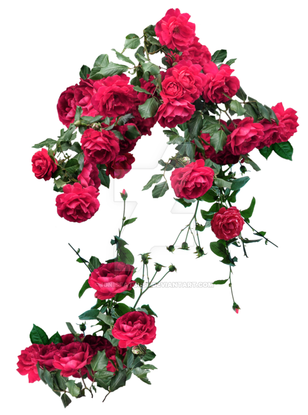 Rose vines png. Red roses exclusive pack