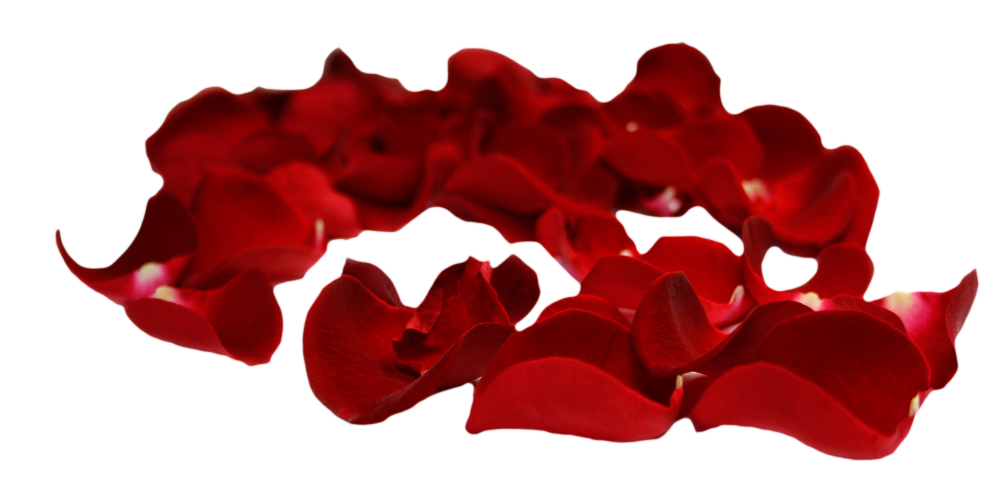 Rose with petals falling png. Psd transparent background imges