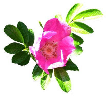 Roses clipart dog. Flower image gallery useful