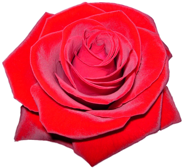 Roses clipart glitter. Red rose png x