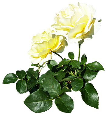 Roses on floor png free. Clipart of valentine day