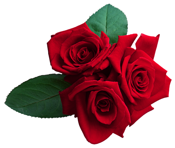 Roses png. Rose flower images free