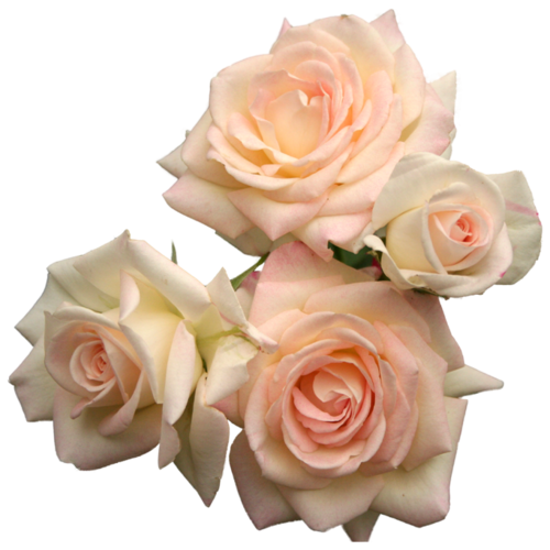 Roses tumblr png. Pink via on we