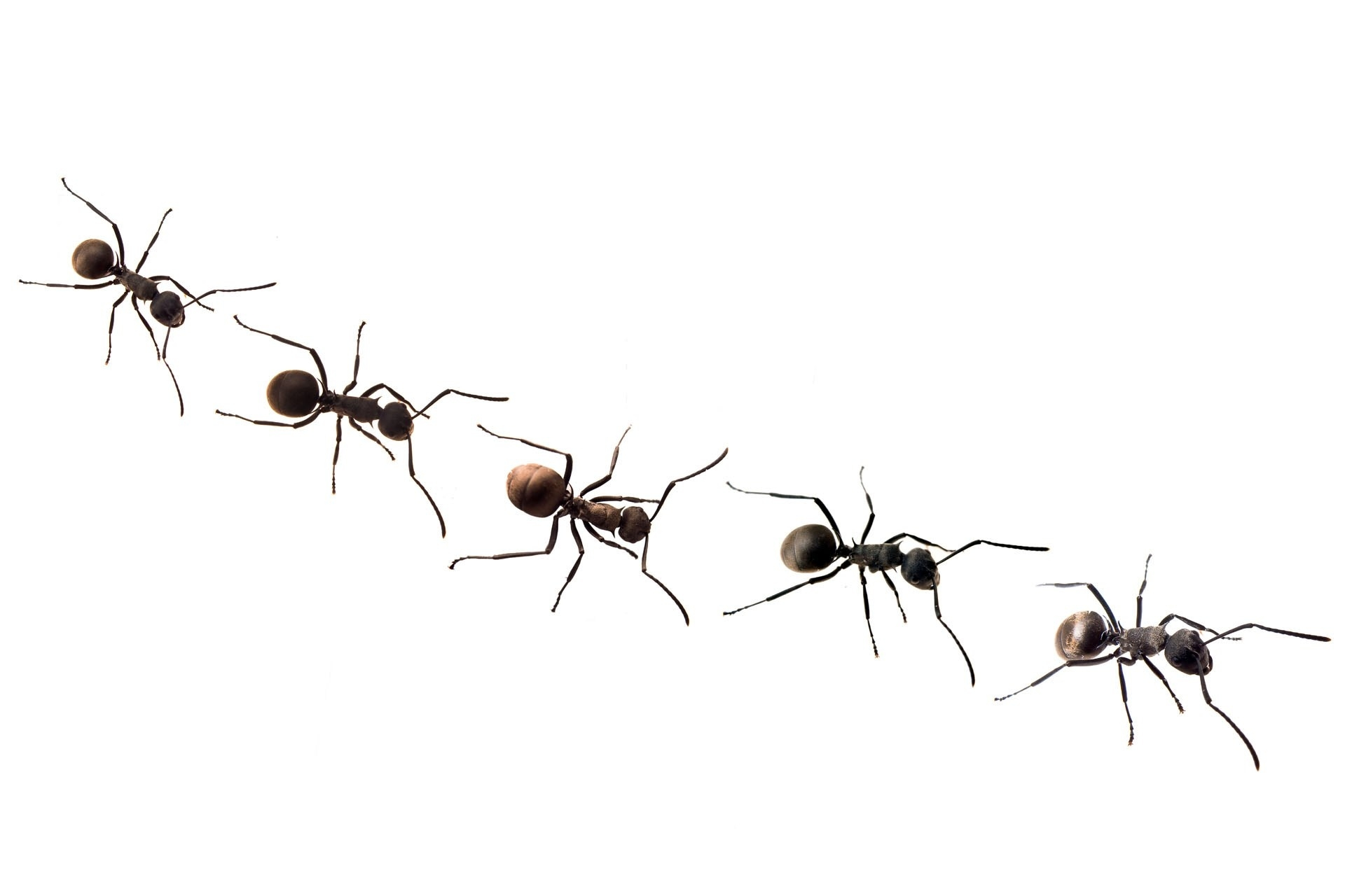 Row clipart ant. Line of ants letters