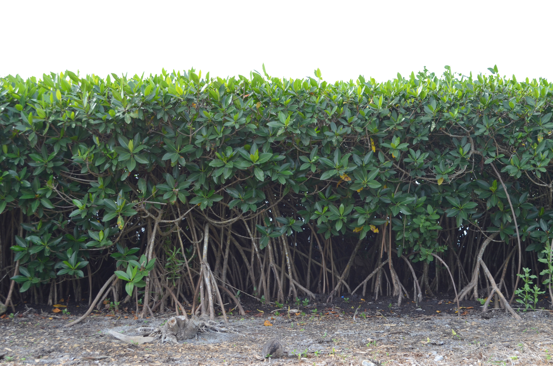 Row of trees png. Mangrove tree bushs stock