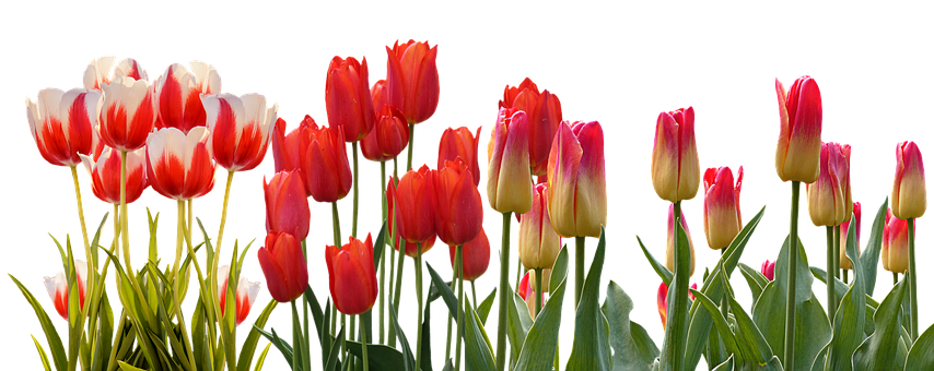 Lovely steemit tulippng. Row of flowers png picture free download