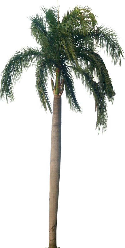Royal palm png. Is native to south