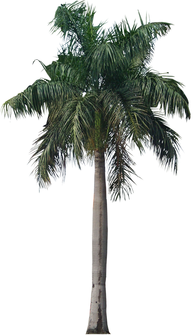 Royal palm png. Tropical plant pictures roystonea