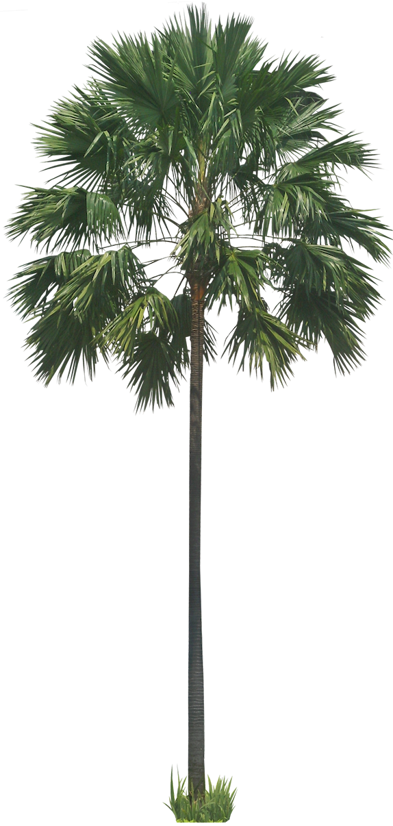 Royal palm png. A collection of tropical