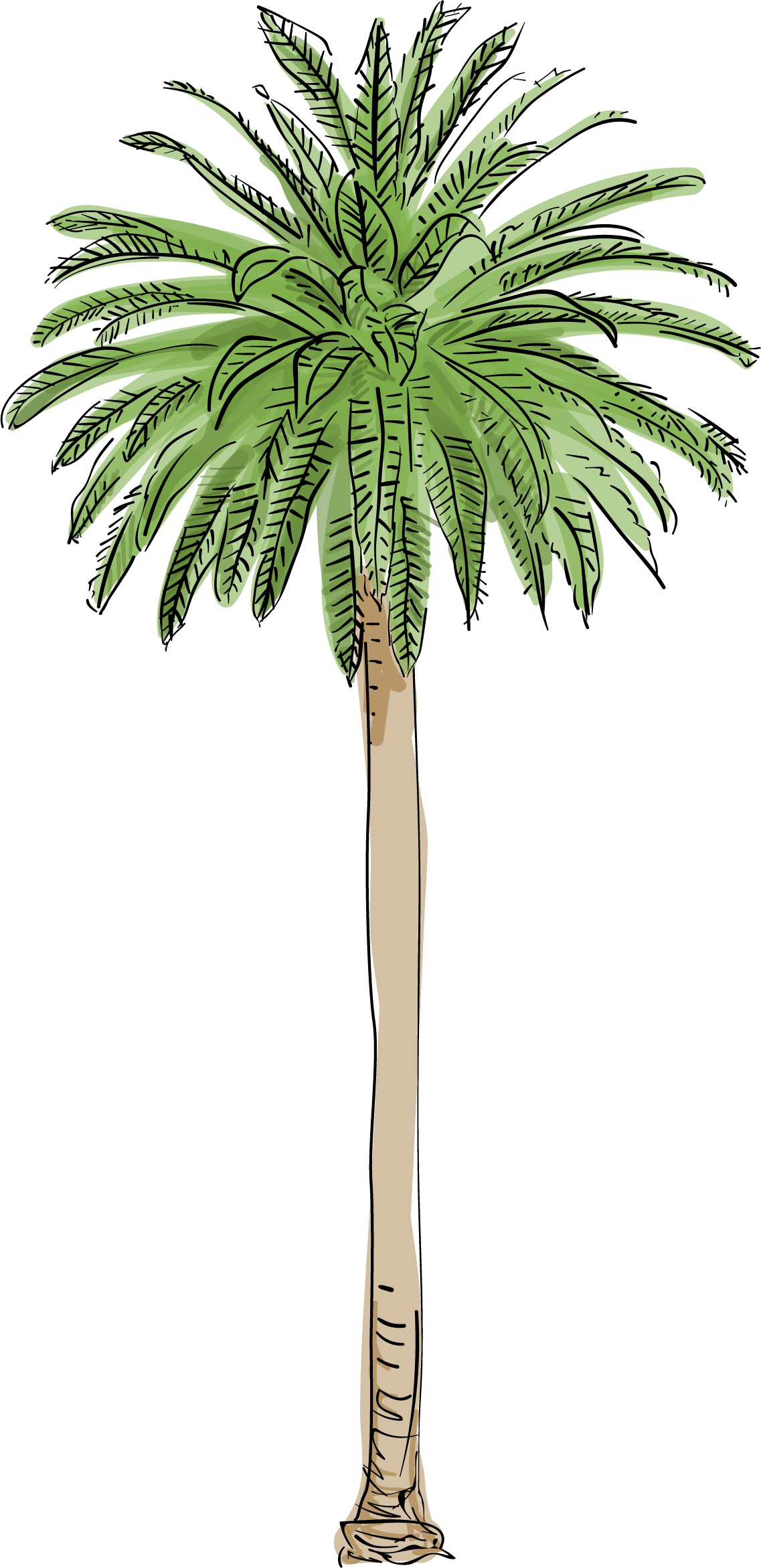 Largest images how fast. Royal palm tree png clip transparent