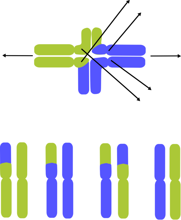 Runner clipart lactic acid. Chromosome dna computer icons