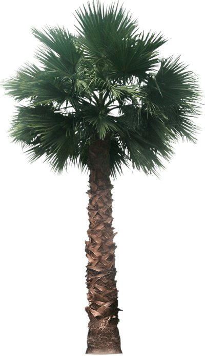 Sabal palm png. Download date free transparent