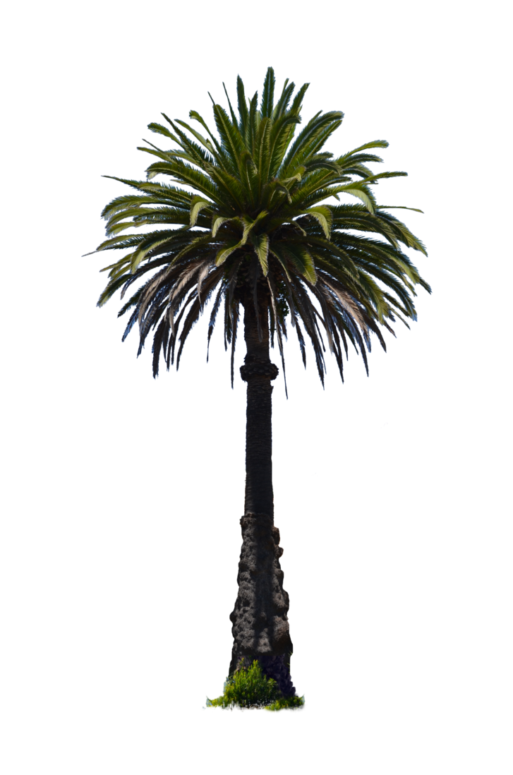Sabal palm png. Tree stock photo dsc