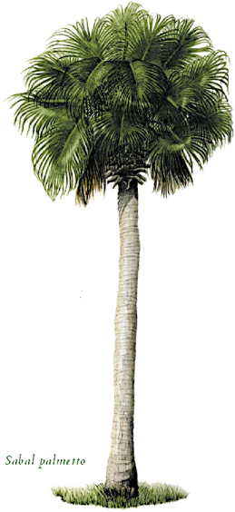 Sabal palm png. King of all palms