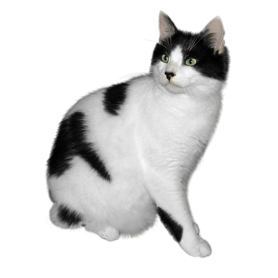 Kittens transparent fluffy. Cat png