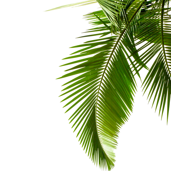 Sago palm png. Leaf arecaceae stock photography