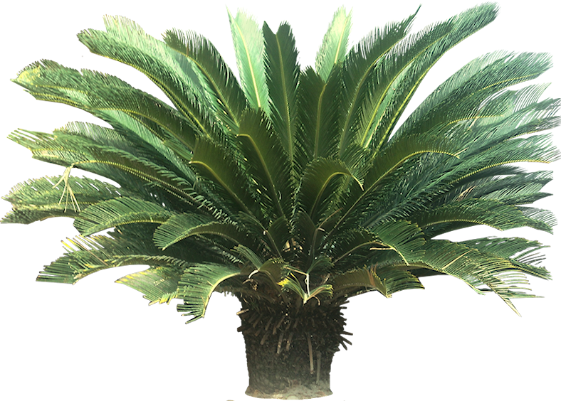 Sago palm png. Pictorial dictionary cycad plants