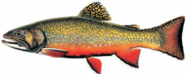 Salmon clipart brook trout. The fish in wyoming