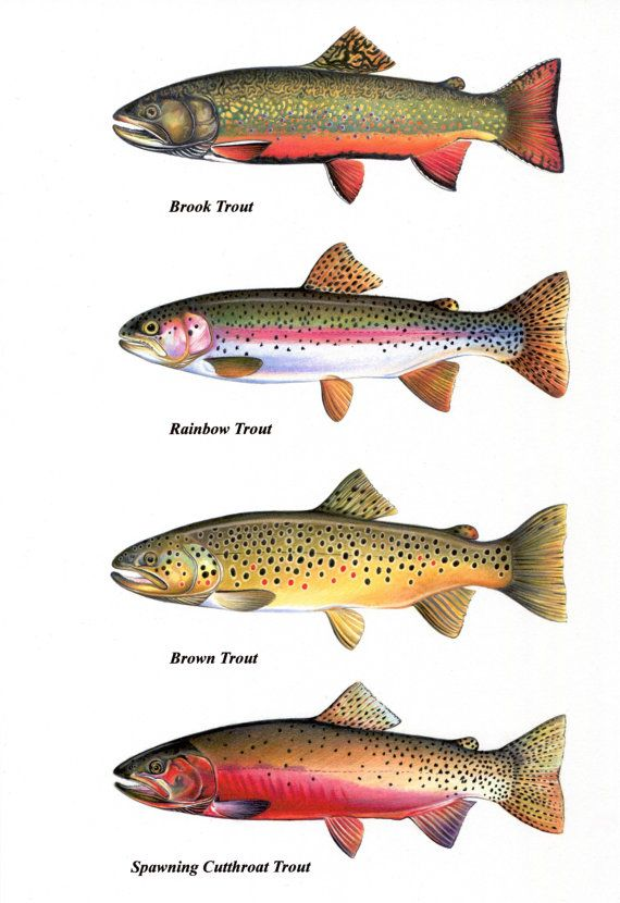 Salmon clipart brook trout. Chart prints cutthroat by