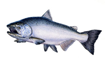 Salmon clipart chinook salmon. Drawing at getdrawings com