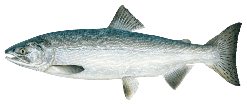 Salmon clear background