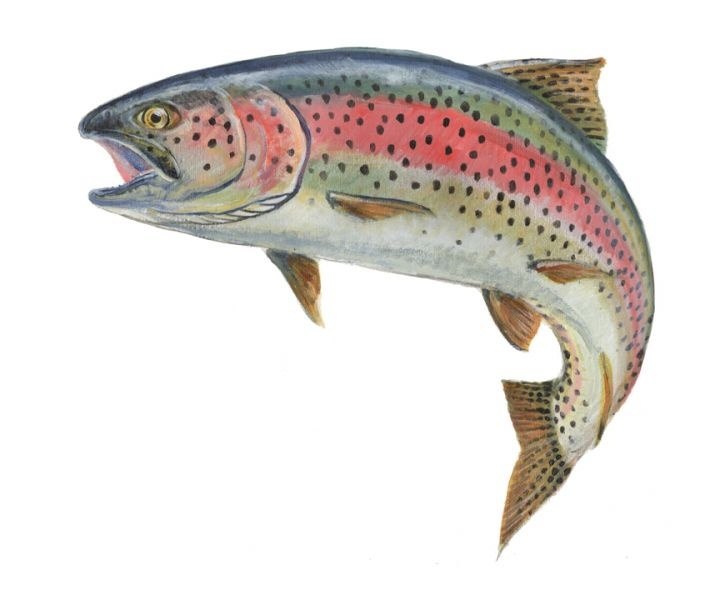 salmon clipart cutthroat trout