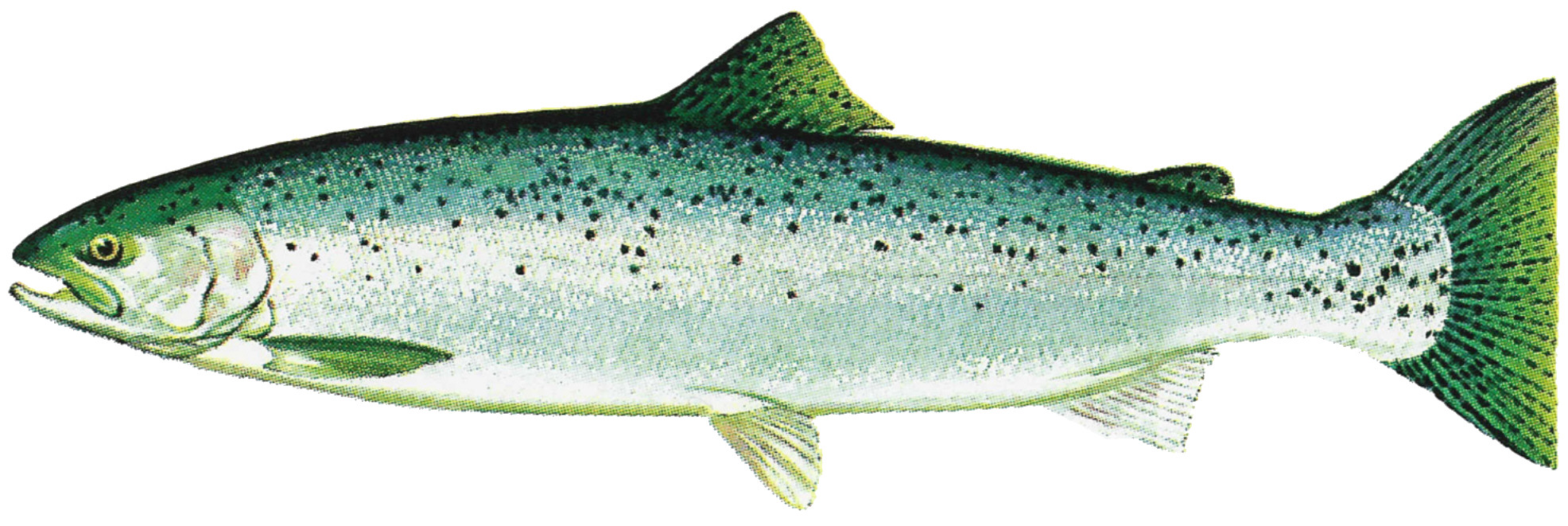 Salmon clipart cutthroat trout. Fish drawing at getdrawings