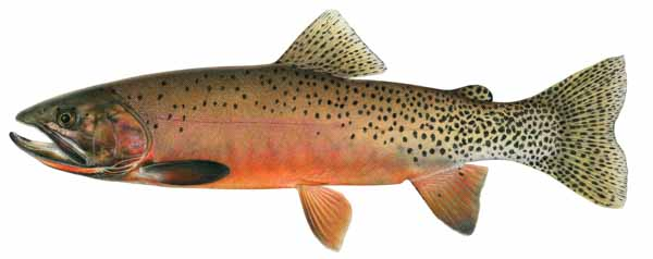 Salmon clipart cutthroat trout. The fish in wyoming