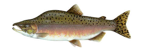 Salmon fish png. Fishing and boating resources