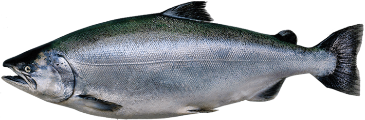 Salmon fish png. King is a distinct