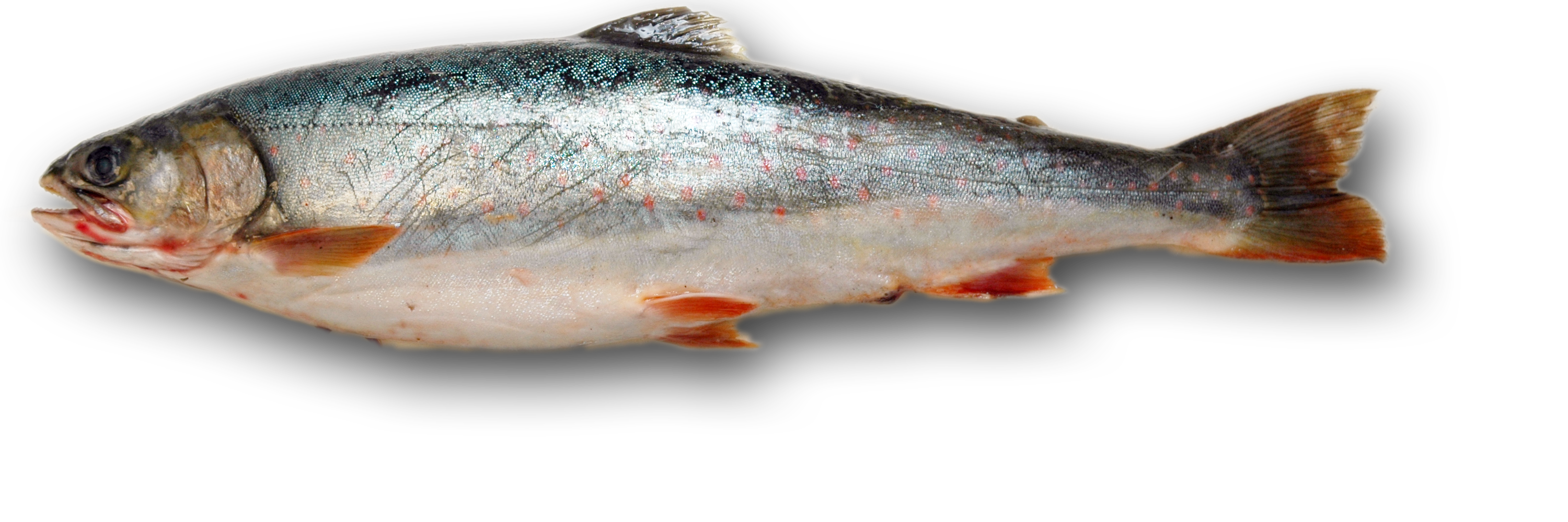Salmon fish png. Fishing transparent pictures free
