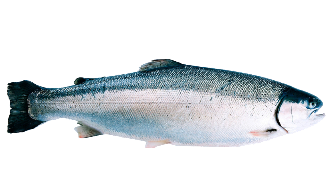 Salmon fish png. Norwegian seafood from norway