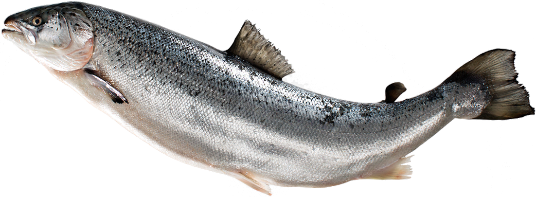 jumping salmon png