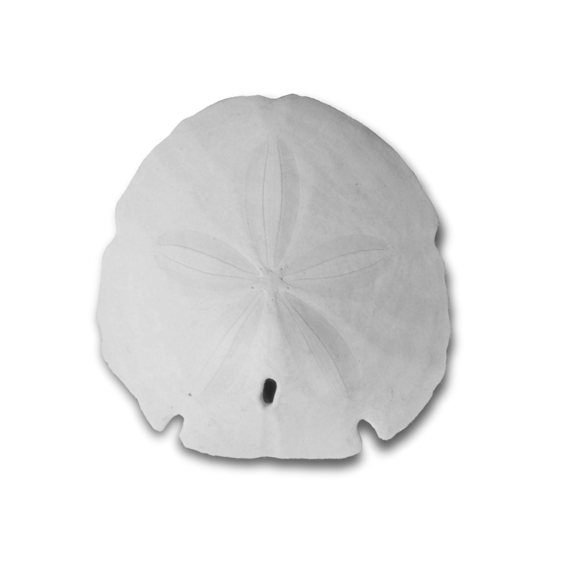 Sand dollar png. Black and white transparent