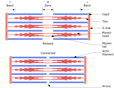 Sarcomere drawing. Muscle contraction wikiwand sliding