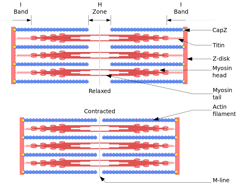 Sarcomere drawing easy. The structure of a