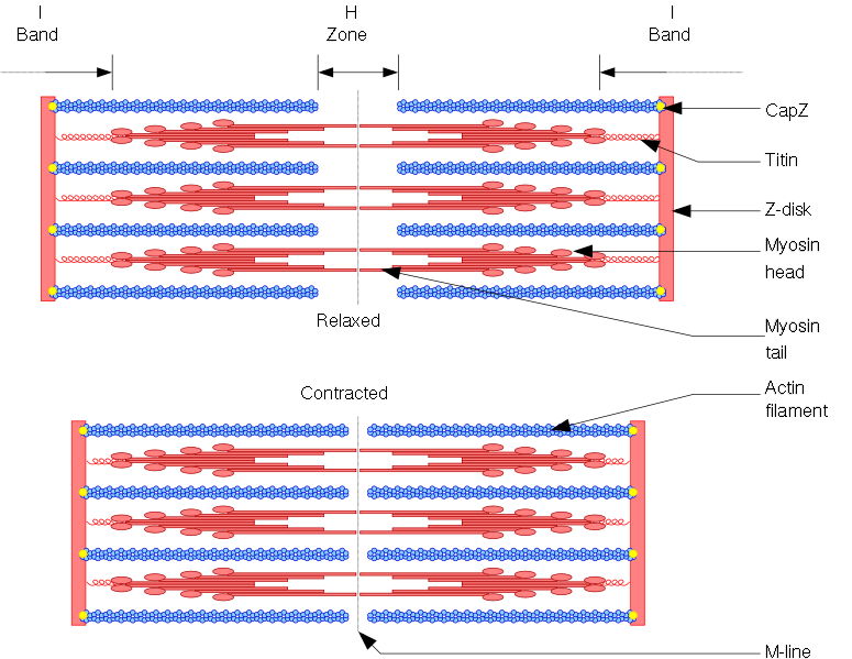 Sarcomere drawing m line. Tom s physiotherapy blog