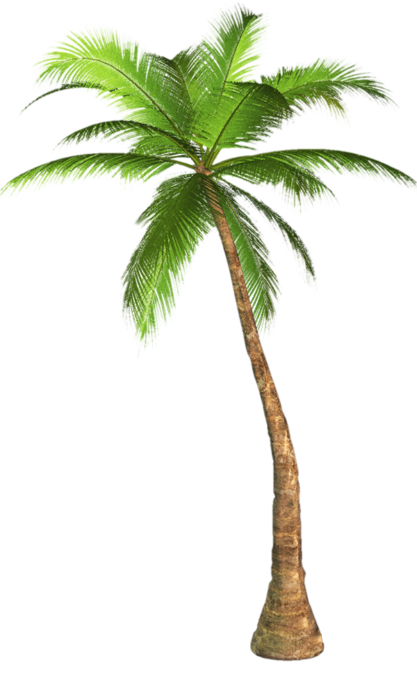 Palm tree png transparent. Image background no graphics