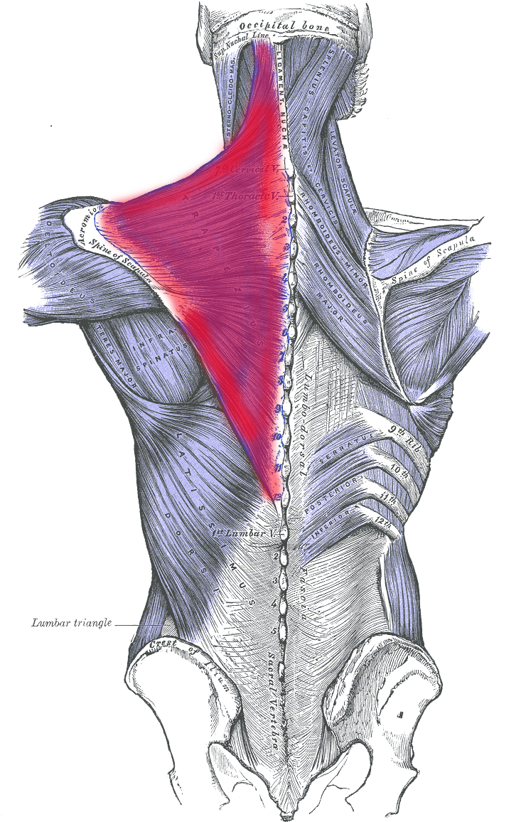 Scapula drawing. Trapezius muscle my lower