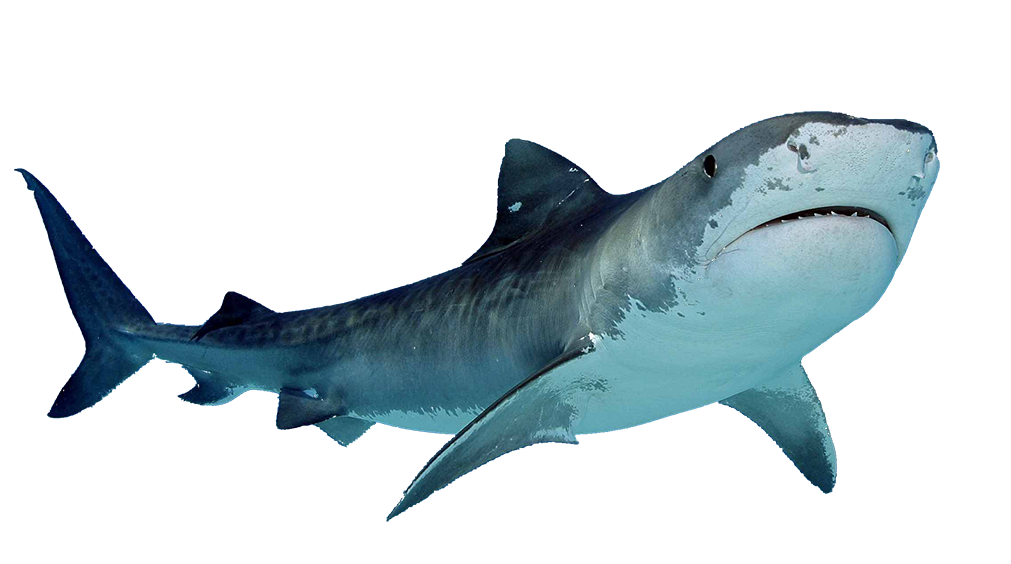 Scary fish png. Sharks images free download