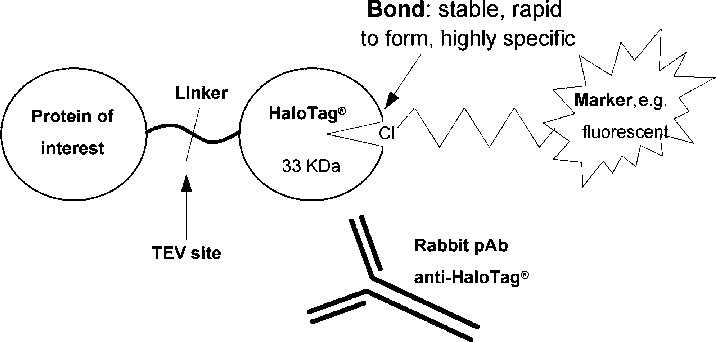 Scheme vector steps. A of generic halotag