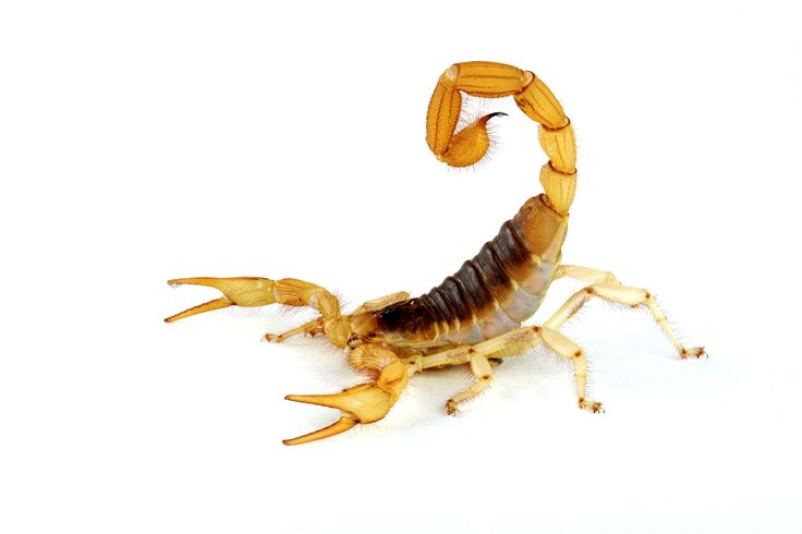 Scorpion clipart easy. Best scorpions images on
