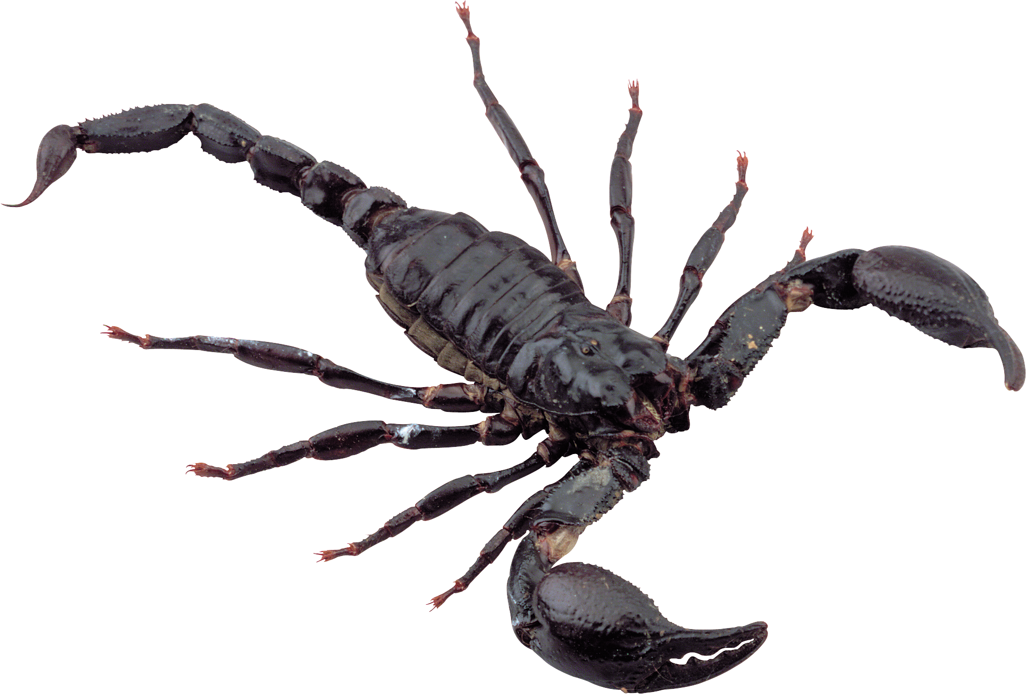 scorpion animal png