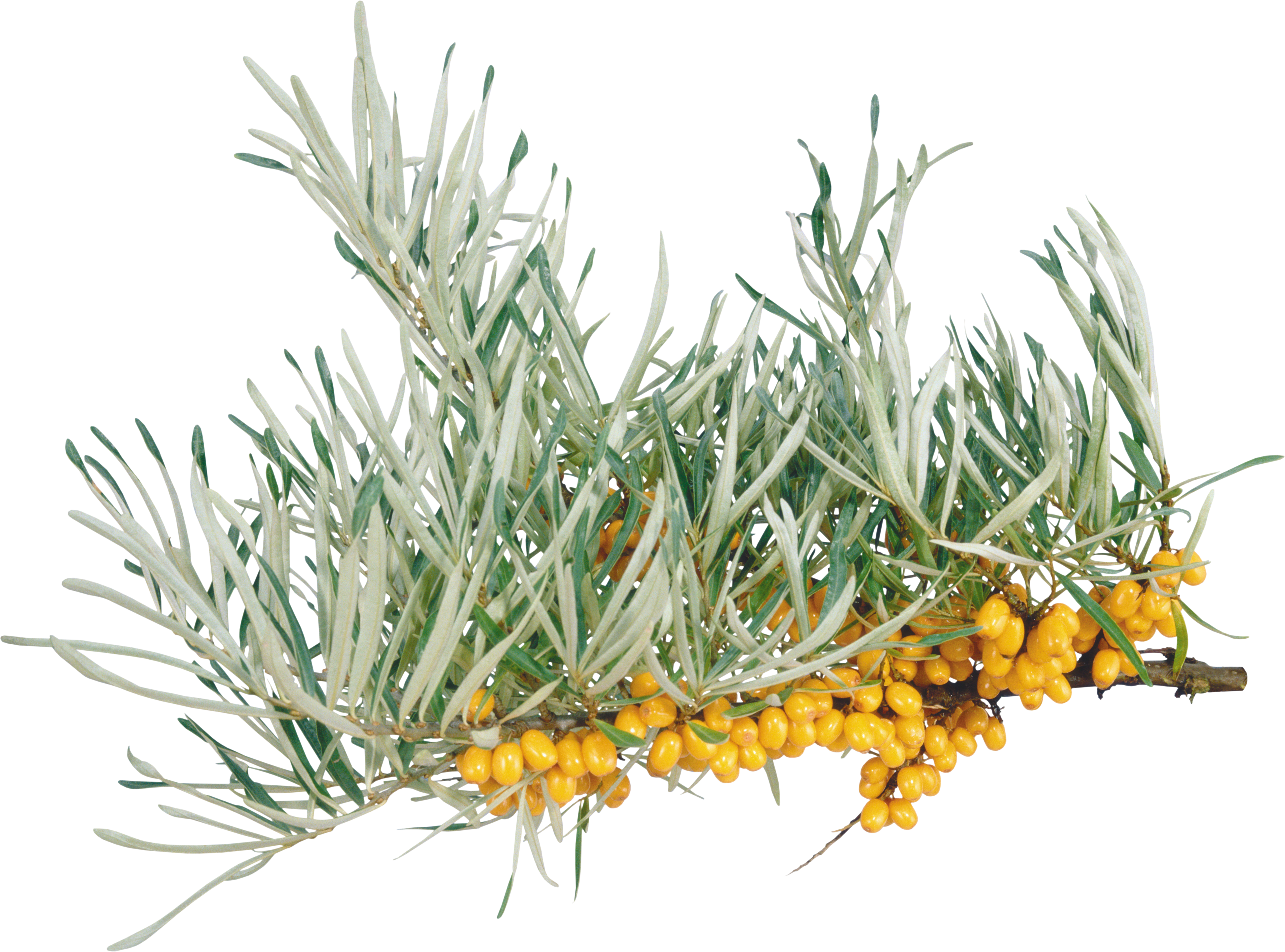 Sea plant png. Buckthorn images free download
