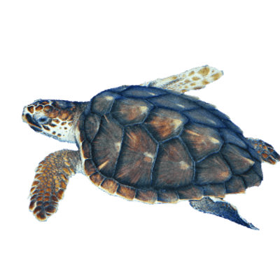 Turtle clipart hawksbill turtle. Sea transparent png stickpng