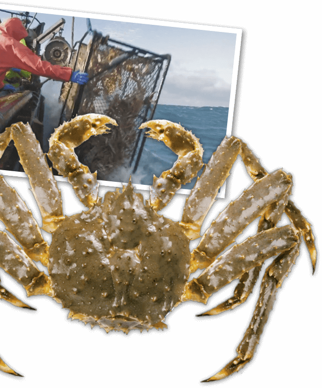 Transparent crab sea indian. Sourcing our seafood red