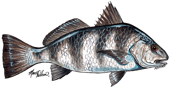Seafood drawing scientific. Mississippi gulf fresh finfish