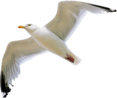 Seagull clipart. Download free png transparent
